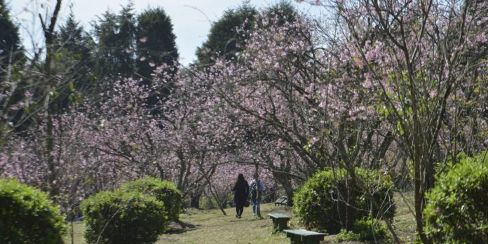 sp:-comeca-a-temporada-da-floracao-das-cerejeiras-no-parque-do-carmo