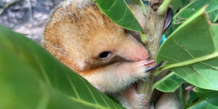 pesquisadores-brasileiros-conseguem-coletar-semen-de-tamandua-raro